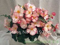 10pcs/bag pink Begonia tuberhybrida flowers Seeds DIY Home Garden