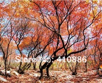 10pieces 1 OEM package China (xiangshan)  Maple tree Seeds, DIY Home Garden
