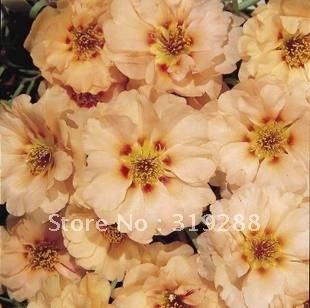 5pcs/bag Barbata Flower Seeds mix colour DIY Home Garden