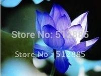 "Teach you plant the Lotus/Bowl of Ephraim, ""lanbaoshi"" Lotus seeds Free Shipping."