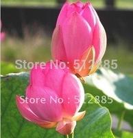 "DIY Home Garden,  ""xiaotaohong"" Bowl of Ephraim seeds is a good idea. We will teach you plant the Lotus."