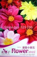 5 Pack 250 Seeds,  beautiful Dwarf Dahlia hybrid flower , easy growing A030