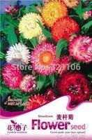 5 Pack 250 seed  Strawflower Helichrysum Bracteatum A073