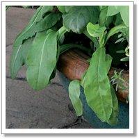 20pcs/bag Rumex Seeds DIY Home Garden