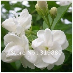 Free shipping 100pcs/lot Jasmine seeds, fantanstic planting Flower seeds(China (Mainland))