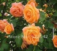 Orange Chinese Climbing Rose seeds, 1 pack about 200 pcs , DIY Home Garden