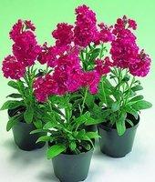 50pcs Fragrant Violet Flower seeds Cheiranthus Cheiri Linn  For Home Garden  Balcony  Free shipping