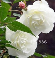 60 pcs=(1 pack) White Climbing rose seeds, free shipping by China Post Air Mail.