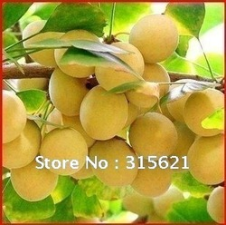 Free Shiping Gingko Tree Seeds Agricultural Forestry Ginkgoales Tree Fruit Edible Leaf Can Be Tea (100 Pieces)(China (Mainland))