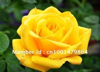 Free Shpping Yellow  Rose Flower Seeds For Home Flower Garden 100 pcs