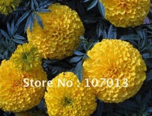 2013 new variety!! 3000 seeds=10g/bag Ornamental marigold seeds /DISCOVERY series yellow color/Big Flower--Free shipping(China (Mainland))