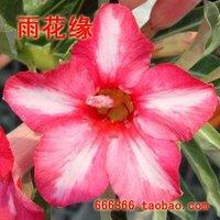 "5pcs/bag pink adenium flower ""FenHongZhiXing"" seeds DIY Home Garden"