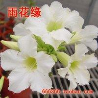 "5pcs/bag white adenium flower ""ChaoJiManTianXing"" seeds DIY Home Garden"