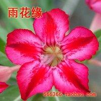 "5pcs/bag red adenium flower ""FuGuiXing"" seeds DIY Home Garden"