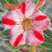 "5pcs/bag red adenium flower ""YanZhi"" seeds DIY Home Garden"