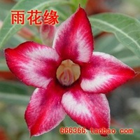 "5pcs/bag red adenium flower ""ShuiMiTao"" seeds DIY Home Garden"