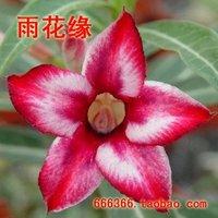 "5pcs/bag red adenium flower ""ShuiMiTao"" seeds DIY Home Garden"