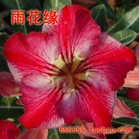 "5pcs/bag red adenium flower ""MengHuan"" seeds DIY Home Garden"
