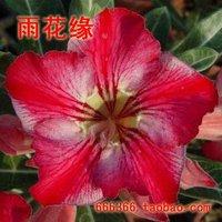 "5pcs/bag red adenium flower ""MengHuan"" seeds DIY Home Garden"