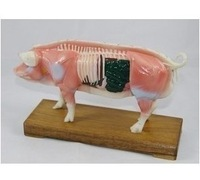 Pig  model animal acupoint model