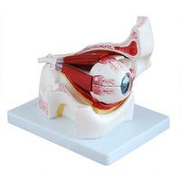 Eye and orbital zoom model TRAINING MANIKIN model FOR Nursing doctor