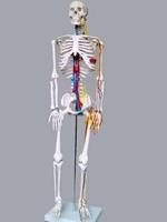 85cm human body belt skeleton model , medical MANIKIN