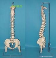 10% off Training supply medical model Big soft spine ossuary model model anatomy