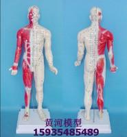 medical model 178cm leather , ex-b2  , anatomy