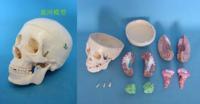 medical  Model of human skull belt pink model , human body model anatomy
