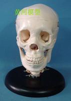 Medical collage For Doctor Human model skull for training
