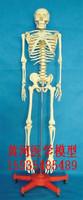 Medical collage For Doctor Mannequin 170cm , human model skeleton model