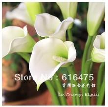 calla lily price
