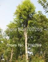 Wholesale - 200 fresh Seeds Santalum album Sandal wood tree RARE free shipping