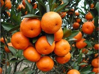 Free Shipping 50 pieces of  Citrus Fruit  Seeds,outdoor plant orange seeds,oem bags package seeds fruiting