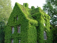 500pcs GREEN BOSTON IVY SEEDS IVY SEEDS