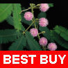 60 Fresh Mimosa Pudica Seeds Tropical Touch-Me-Not Sensitive Plant Pink Flowers(China (Mainland))