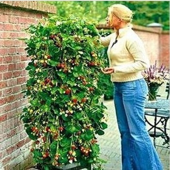 Free shipping 50pcs/lot New arrival climbing strawberry seeds for DIY home garden