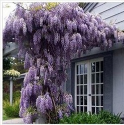 20pcs/bag hot selling Purple Wisteria Flower Seeds for DIY home garden(China (Mainland))