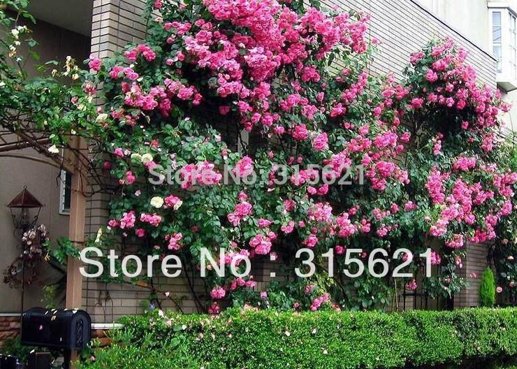 150 SEEDS MIXED CLIMBING ROSES * MORDEN CVS. OF CHLIMBERS AND RAMBLERS * HEIRLOOM * HIGH SURVIVAL * CHINA ROSE * FREE SHIPPING(China (Mainland))