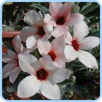 5pcs/bag white adenium flower No.7 seeds DIY Home Garden