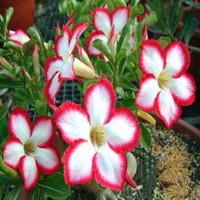 5pcs/bag red adenium flower No.4 seeds DIY Home Garden