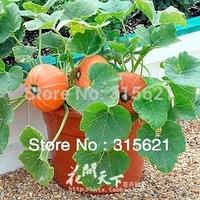 Bonsai Pumpkin Seeds Family Balcony vegetable Plants Seeds 5 bags/lot  Free shipping