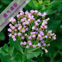 20pcs/bag Pluchea indica Less. Seeds DIY Home Garden