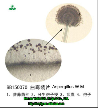 botany microscope prepared slides Aspergillus W.M. with low price and high quality