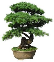 Free Shipping 30pcs/bag Japanese pine tree seeds bonsai seeds