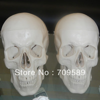 Infant Skull Model,Anatomical skull