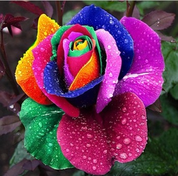 Free shipping 500 PCS  Beautiful Flower Rainbow rose seed Rose Seeds