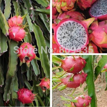 Free Shipping 100 pcs / Pack  Pitaya Seeds *** dragon fruit seeds ***high quality fruit seeds