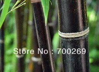 Wholesale -1000x fresh Black Bamboo Seeds ( Phyllostachys Nigra ) RARE