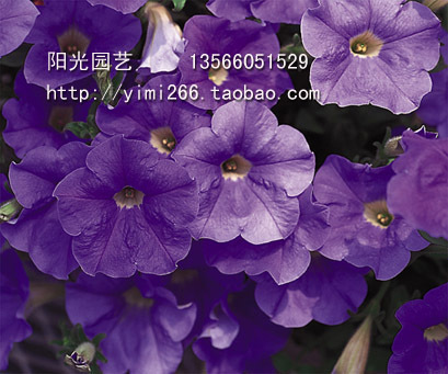 Free shipping Pan-American n 016 10 deconsolidator flower petunia dream Sky Blue seeds(China (Mainland))
